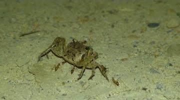 墾丁的黃瘋蟻入侵讓陸蟹處境更艱困