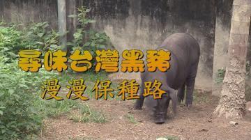 我們的島 尋味台灣黑豬-漫漫保種路(第999集 2019-04-08)