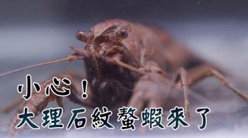 【外來種】小心!大理石紋螯蝦來了(第1078集 2020-10-26)