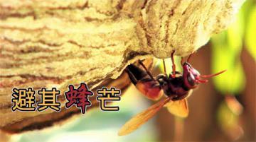 【捕蜂捉蛇】避其「蜂」芒:你害怕虎頭蜂嗎? (我們的島第1082集 2020-11-23)