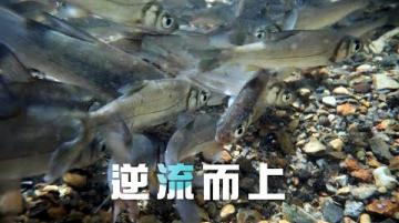 【淡水原生魚種】逆流而上|圓吻鯝魚的生存機制 (我們的島 1110集 2021-06-21)