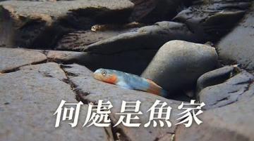 【淡水原生魚種】何處是魚家|如何杜絕商業採捕壓力?(我們的島 1110集 2021-06-21)