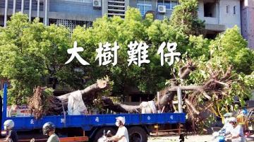 【樹木保護】大樹難保 樹木在城市的困境 (我們的島 1120集 2021-08-30)