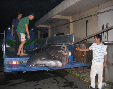 2005年 花蓮漁民捕獲的巨口鯊,學術單位買下準備製成標本