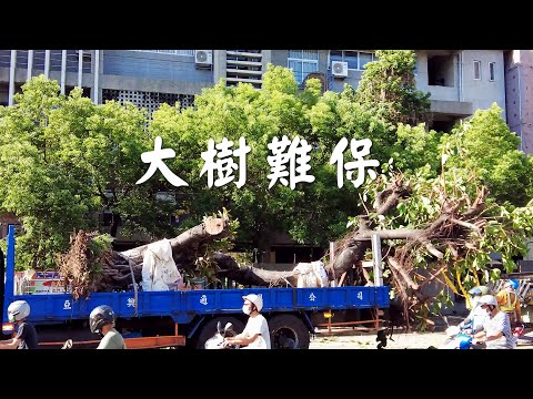 【樹木保護】大樹難保|樹木在城市的困境 (我們的島 1120集 2021-08-30)
